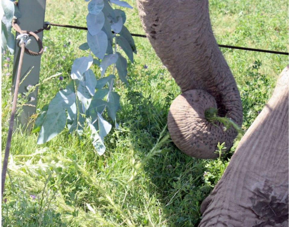 Elephant trunk (Ramba's)