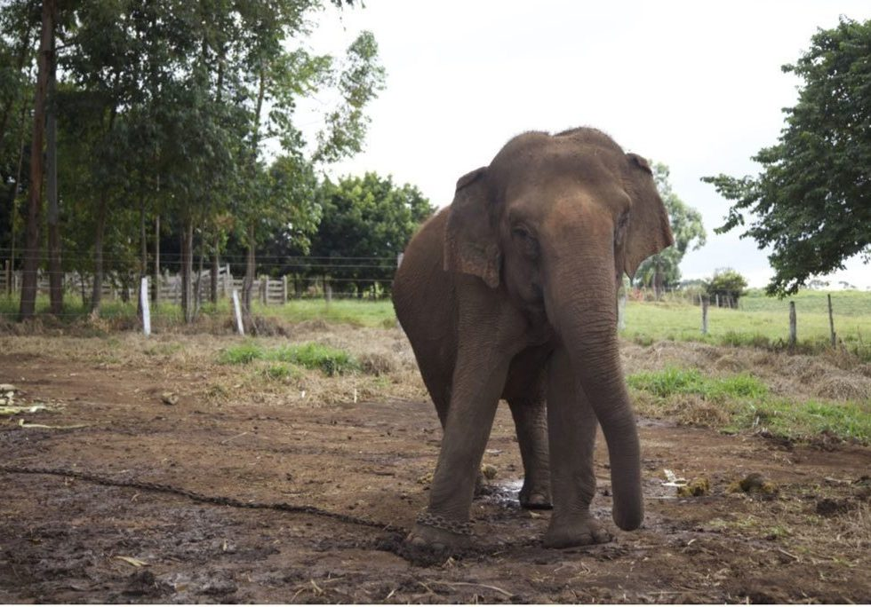 Maia chained at the farm (before rescue)