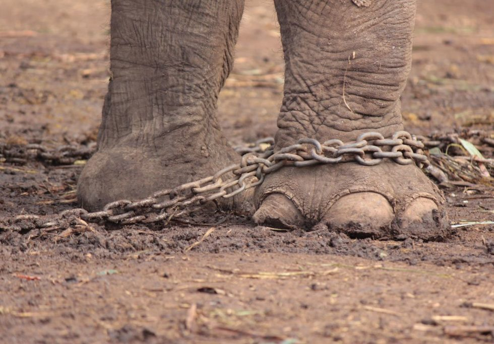 Maia's chained feet (before rescue)