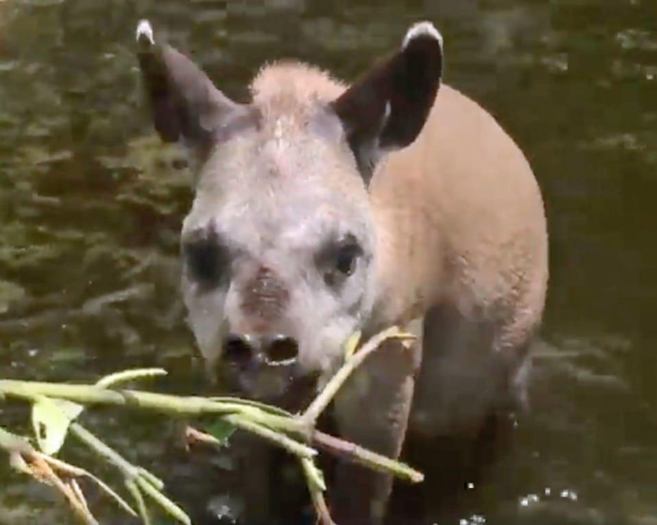 Little tapir Arya in her pond