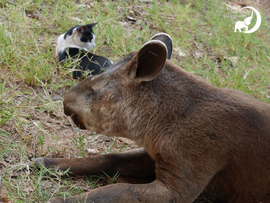 Alma, the tapir with Bodhi, the cat