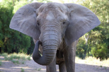 Basic Facts About Elephants Global Sanctuary For Elephants