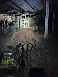 Alma the tapir