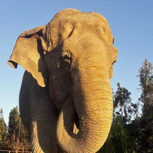 Ramba at the roadside zoo in Chile