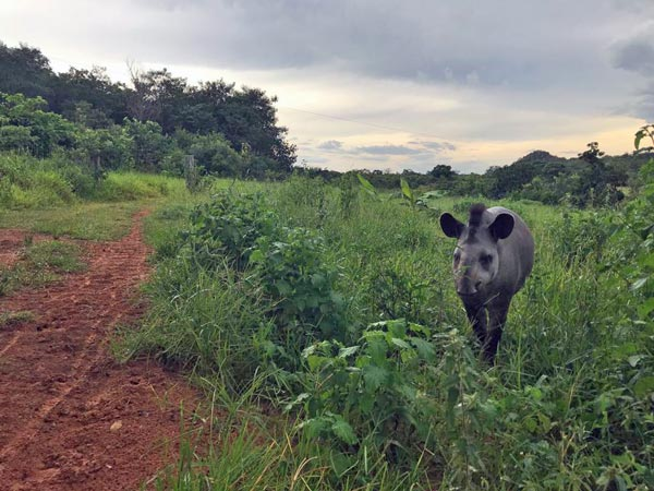 Nutmeg, a sanctuary rehabilitated and released tapir