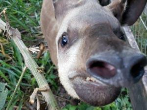 George the Tapir