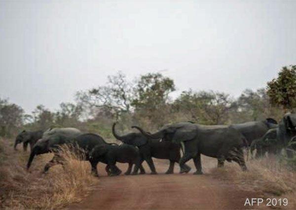wild elephants