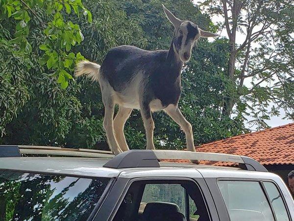 Sally goat