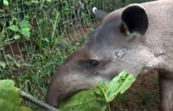 Arya tapir