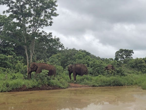 Three eles grazing