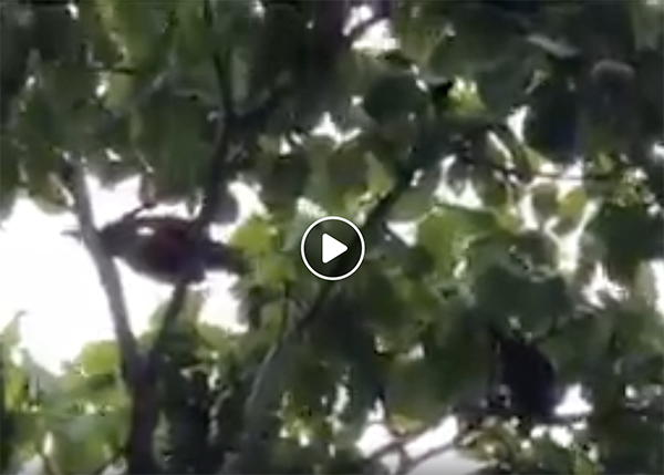 Macaws in pequi tree